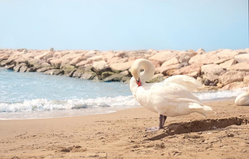 Beautiful swan on sandy beach near sea royalty free stock photography