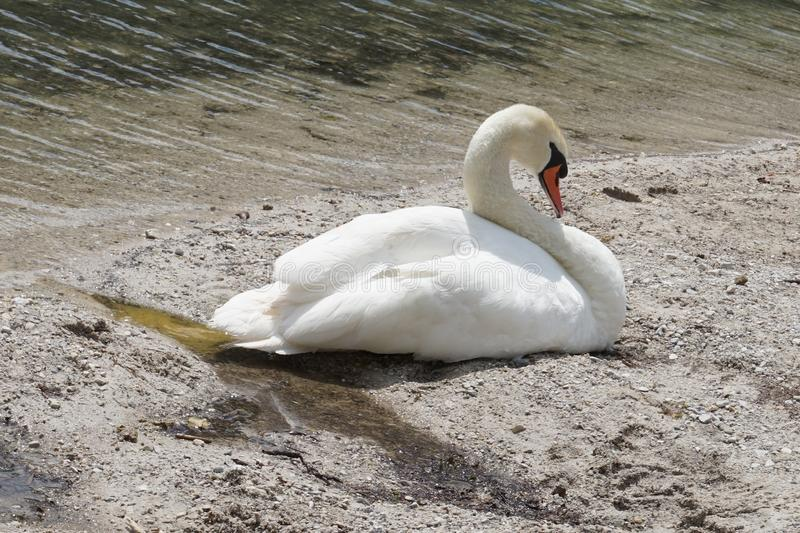 Beautiful swan sleeps on the shore of a pond stock photo