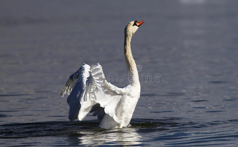 Beautiful swan spreads its wings stock image