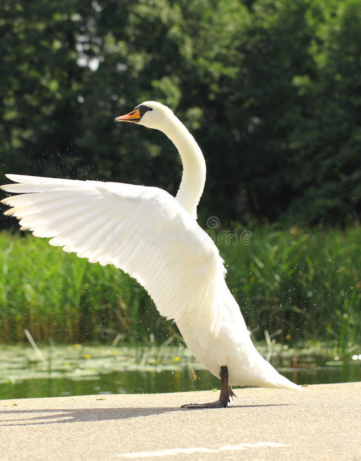 Beautiful swan standing on street and stretching o stock photo