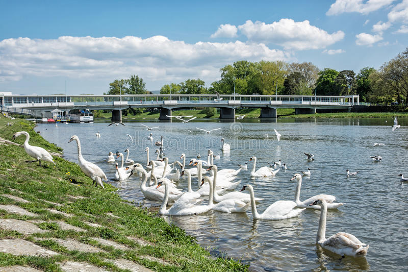 Beautiful Swans – Cygnus on the river side with bridge, Piestany, Slovakia. Beautiful Swans – Cygnus on the river side with bridge, Piestany royalty free stock images
