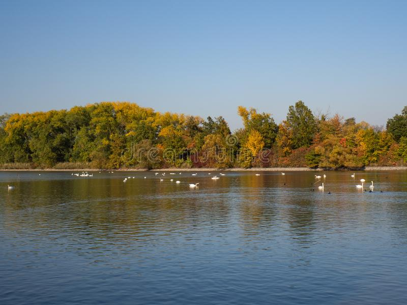 Group of swan birds and duck in lake in evening light. Beautiful swans cygnus olor and ducks in lake in the autumn evening light with colorful trees royalty free stock image