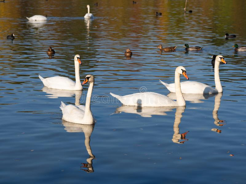Group of swan birds and ducks in lake in golden evening light. Beautiful swans cygnus olor and ducks in lake in the autumn evening light royalty free stock photos