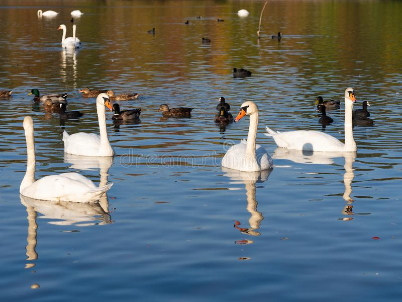 Group of swan birds and ducks in lake in golden evening light. Beautiful swans cygnus olor and ducks in lake in the autumn evening light stock photo
