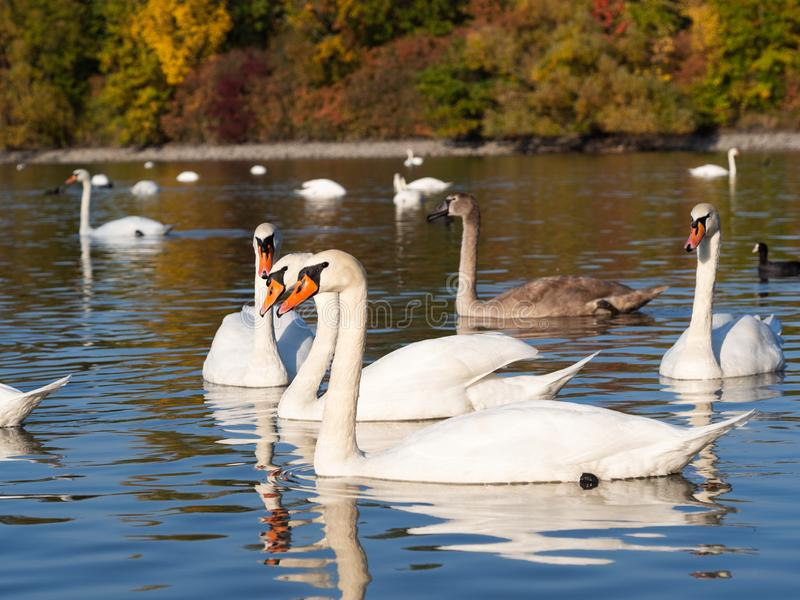 Group of swan birds in lake in autumn evening light. Beautiful swans cygnus olor in lake in the evening light in autumn with golden trees stock photography