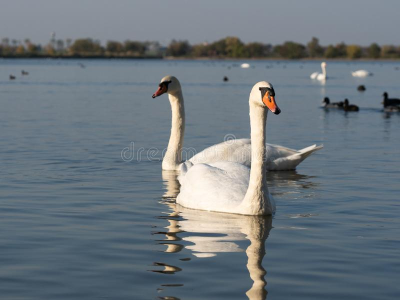 Pair of swan birds in lake in golden evening light. Beautiful swans cygnus olor in lake in the golden evening light royalty free stock photo