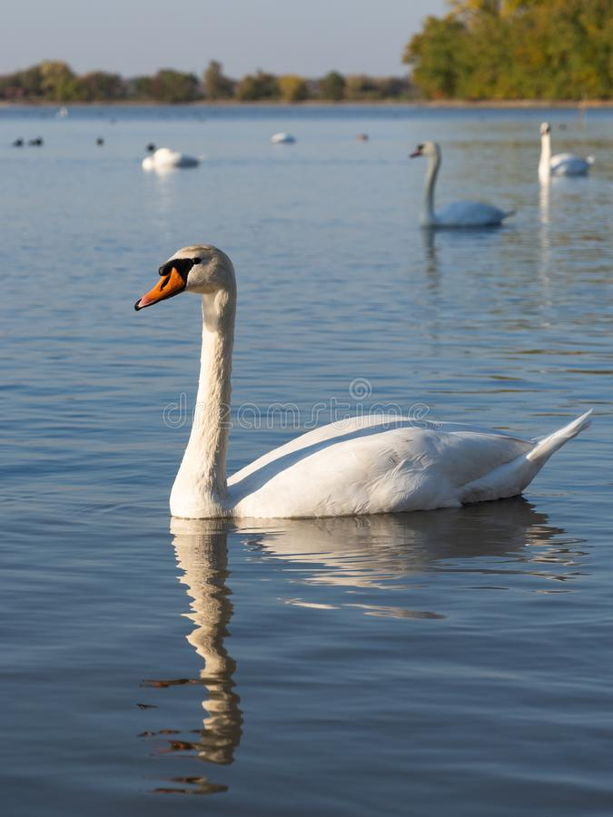 Swan birds in lake in golden evening light. Beautiful swans cygnus olor in lake in the golden evening light royalty free stock photography