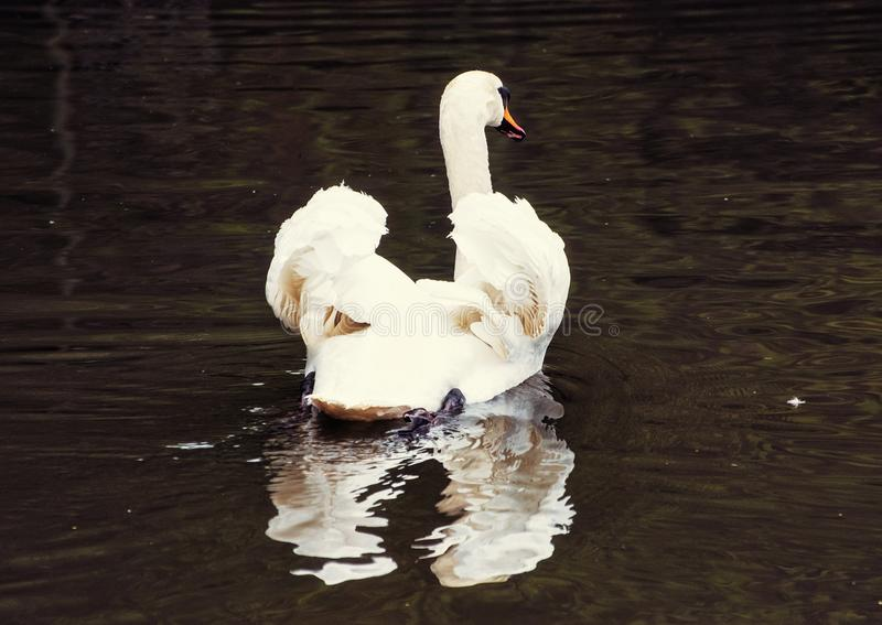 Swans - Cygnus in the water, beauty filter. Beautiful Swans - Cygnus in the water. Bird scene. Beauty in nature. Beauty photo filter stock photos