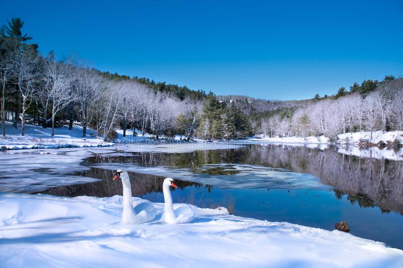 Beautiful swans relaxing on the snow by the lake in frosted forest. stock image