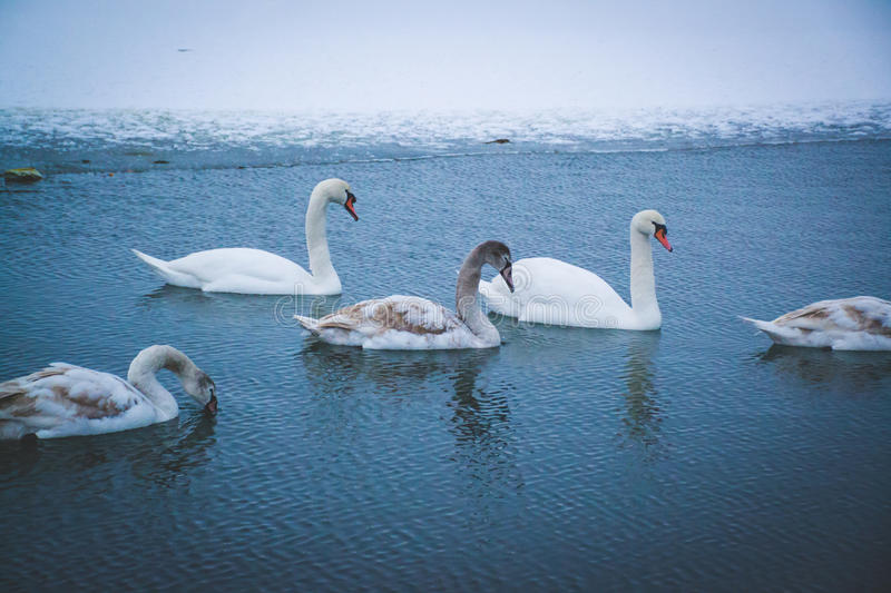 Beautiful swans on the river. Winter time. Ice and snow. Water reflection. Little waves. White feathers royalty free stock photos