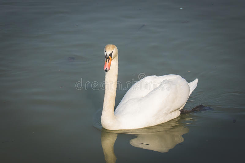 Beautiful swans on the river. royalty free stock photos