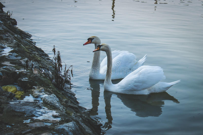 Beautiful swans on the river. stock image