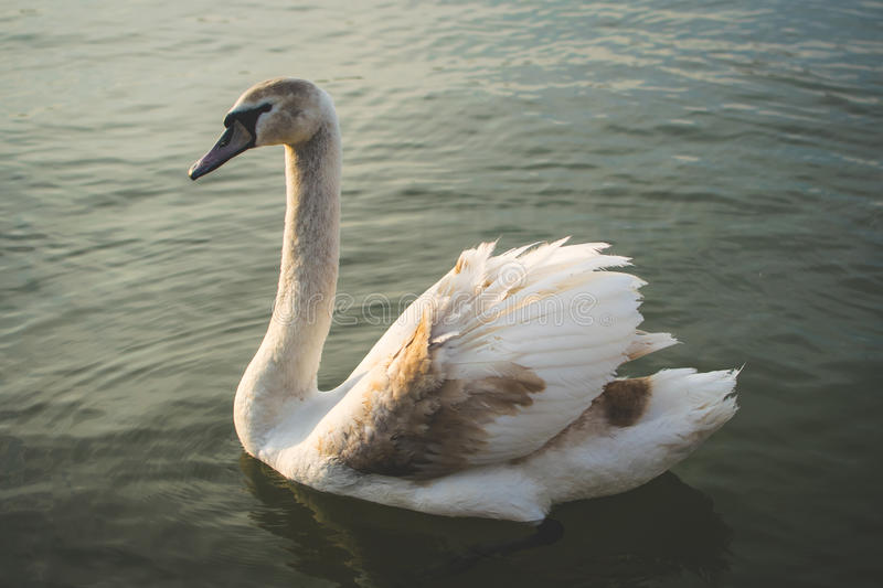 Beautiful swans on the river. royalty free stock images