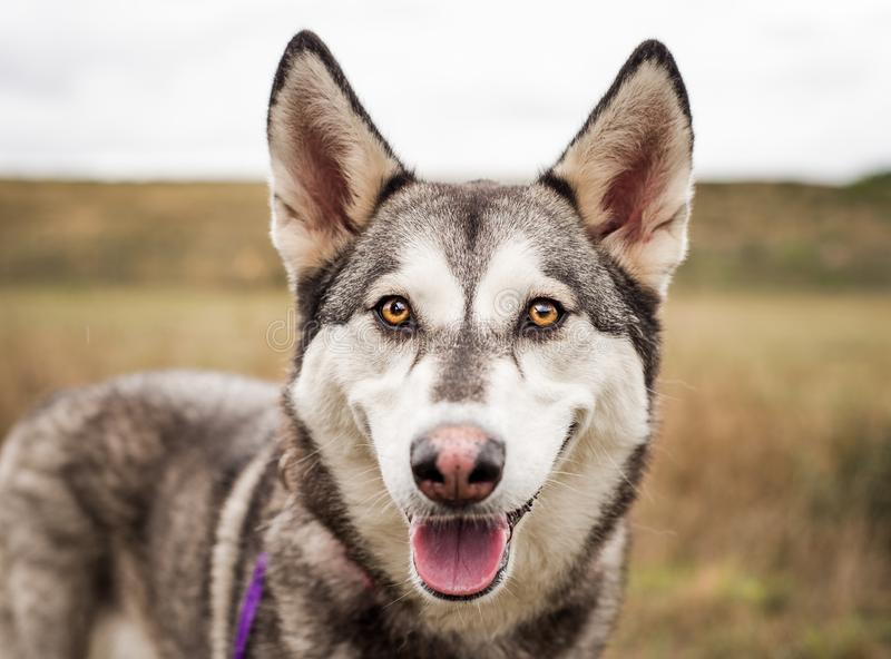 Grey, black, and white Husky dog with beautiful bright eyes, looking at the camera, photographed outdoors stock photo