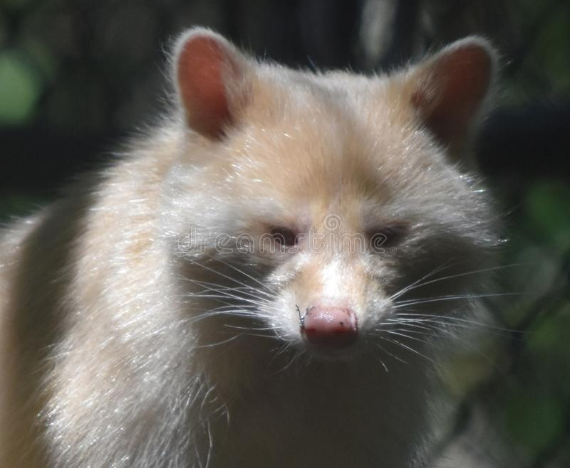 Very Sweet Face of a North American Raccoon stock image