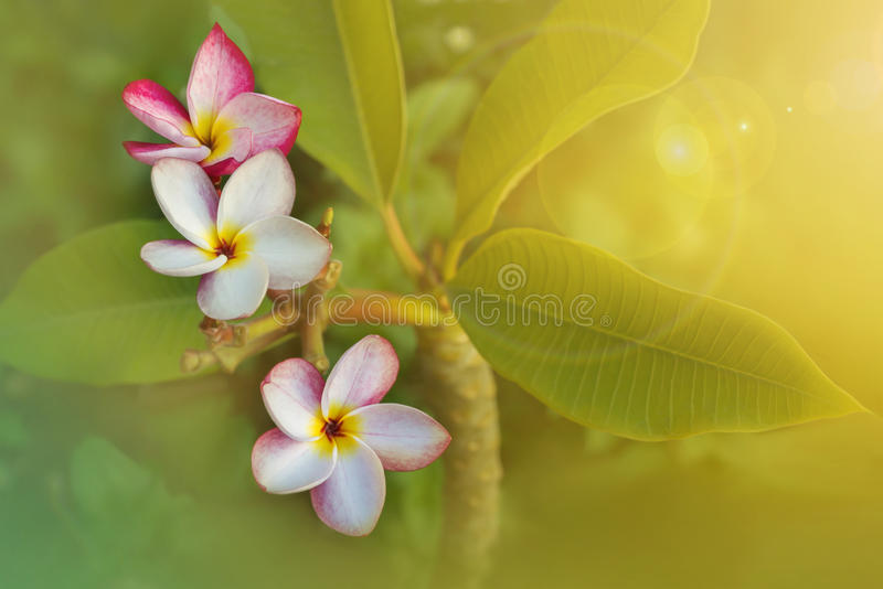 Pink Plumeria Or Frangipani Flowers In A Bunch Stock Photo ... |Plumeria Bunches