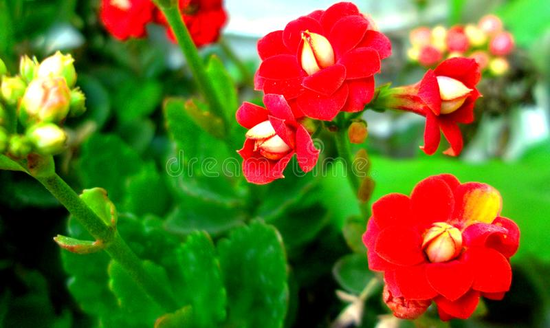 The beautiful and sweet secret red flower royalty free stock images
