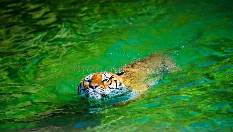 Beautiful swimming tiger. Adult, aggressive, amur, angry, animal, beauty, big, carnivore, cat, catwalk, danger, dangerous, expression, eyes, face, feline, fur stock image