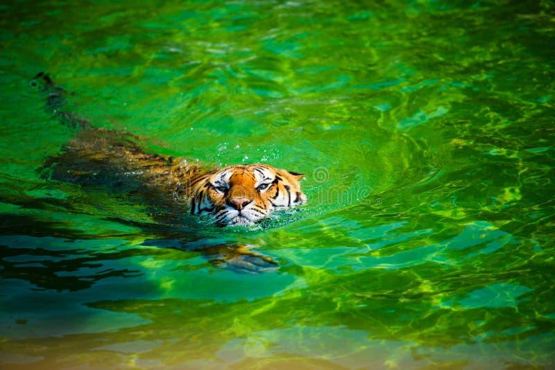 Beautiful swimming tiger. Adult, aggressive, amur, angry, animal, beauty, big, carnivore, cat, catwalk, danger, dangerous, expression, eyes, face, feline, fur stock photo