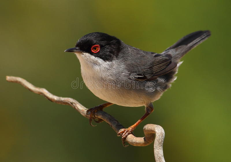 Beautiful Sylvia melanocephala warbler perched on. A branch with green background royalty free stock photo