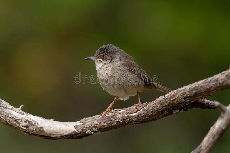 Beautiful Sylvia melanocephala warbler perched on a branch with green background. Sardinian warbler in its natural habitat, Sylvia melanocepahala in Spain stock image