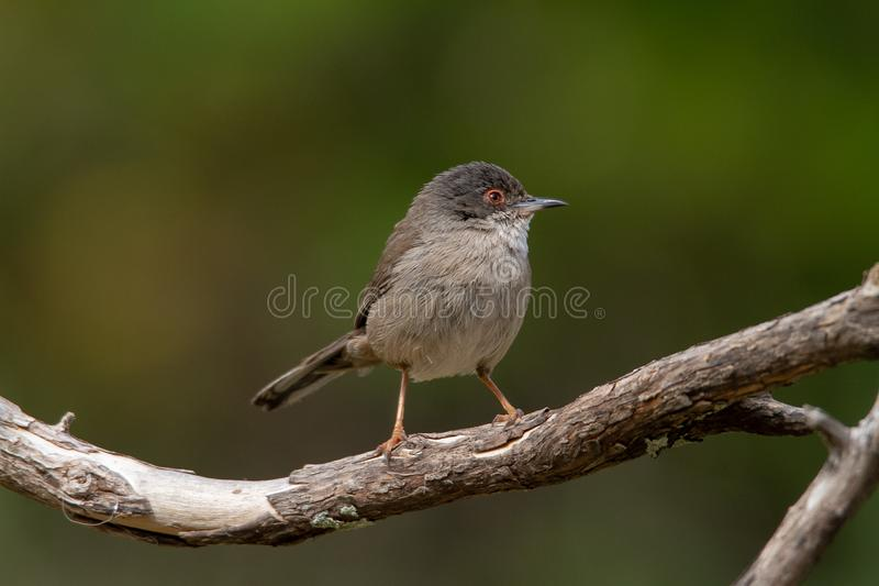Beautiful Sylvia melanocephala warbler perched on a branch with green background. Sardinian warbler in its natural habitat, Sylvia melanocepahala in Spain royalty free stock image