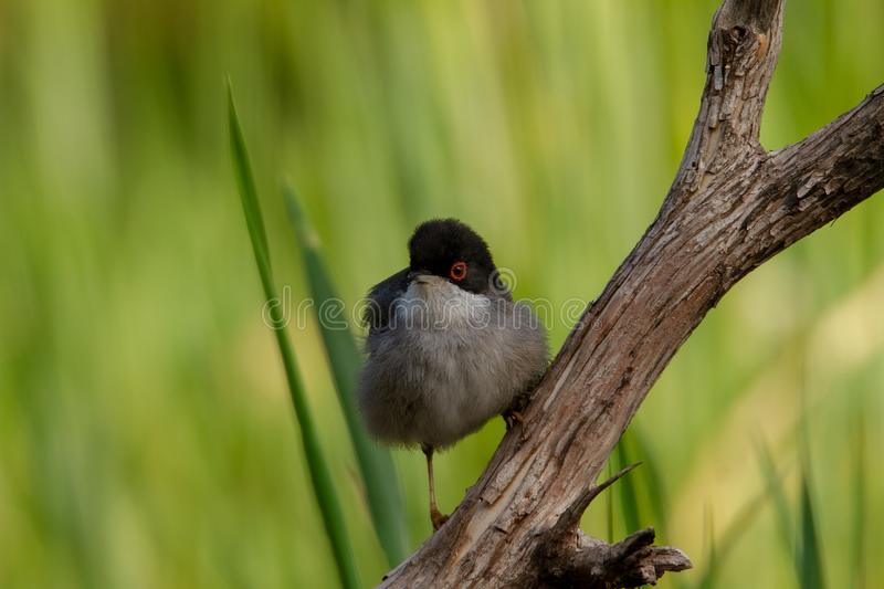 Beautiful Sylvia melanocephala warbler perched on a branch with green background. Sardinian warbler in its natural habitat, Sylvia melanocepahala in Spain royalty free stock photo