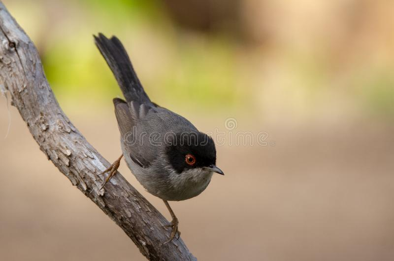 Beautiful Sylvia melanocephala warbler perched on a branch with green background. Sardinian warbler in its natural habitat, Sylvia melanocepahala in Spain stock photography