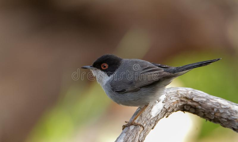 Beautiful Sylvia melanocephala warbler perched on a branch with green background. Sardinian warbler in its natural habitat, Sylvia melanocepahala in Spain stock photo