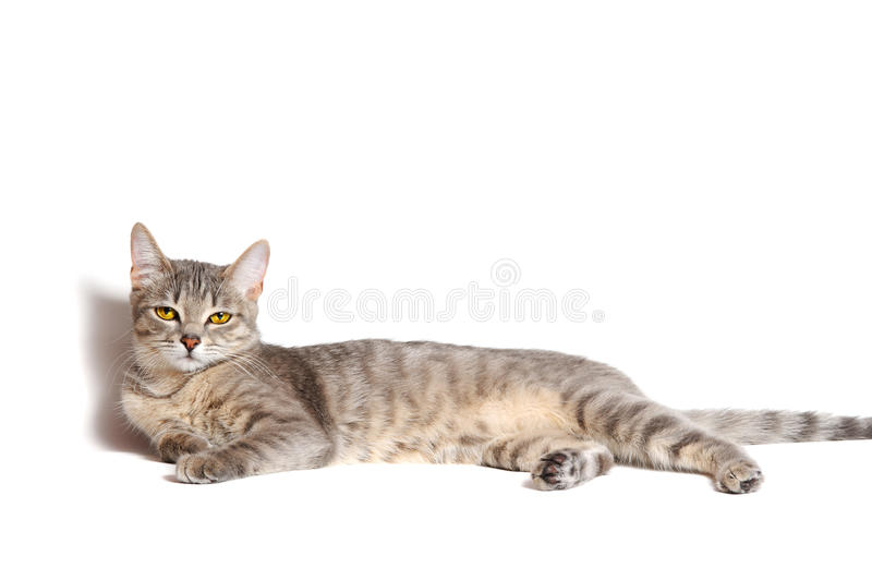 Download Beautiful tabby cat stock image. Image of fluffy, mustache - 20649937