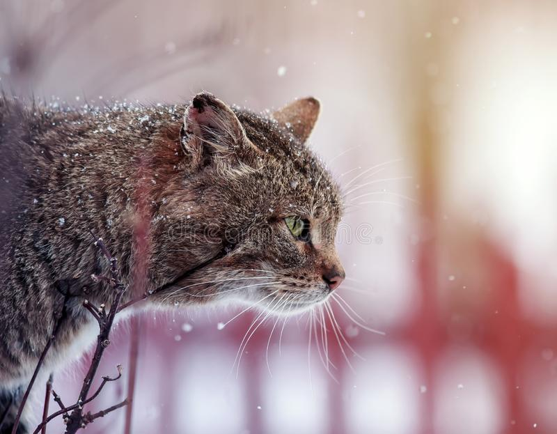 Tabby cat with big mustache sits on a fence in the village during a snowfall and looks into the distance. Beautiful, tabby cat with big mustache sits on a fence royalty free stock image