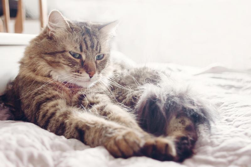 Beautiful tabby cat lying on bed and seriously looking with green eyes in soft morning light. Fluffy Maine coon with funny. Emotions resting in white stylish royalty free stock photography