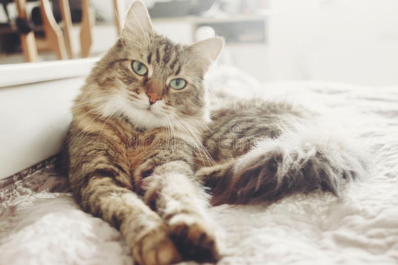 Beautiful tabby cat lying on bed and seriously looking with green eyes in soft morning light. Fluffy Maine coon with funny. Emotions resting in white stylish stock photography
