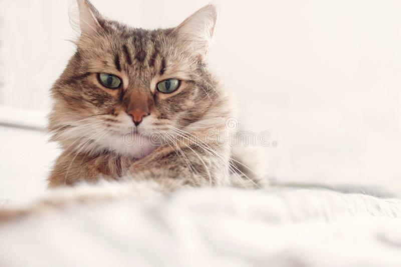 Beautiful tabby cat lying on bed and seriously looking with green eyes in soft morning light. Fluffy Maine coon with funny. Emotions resting in white stylish royalty free stock images
