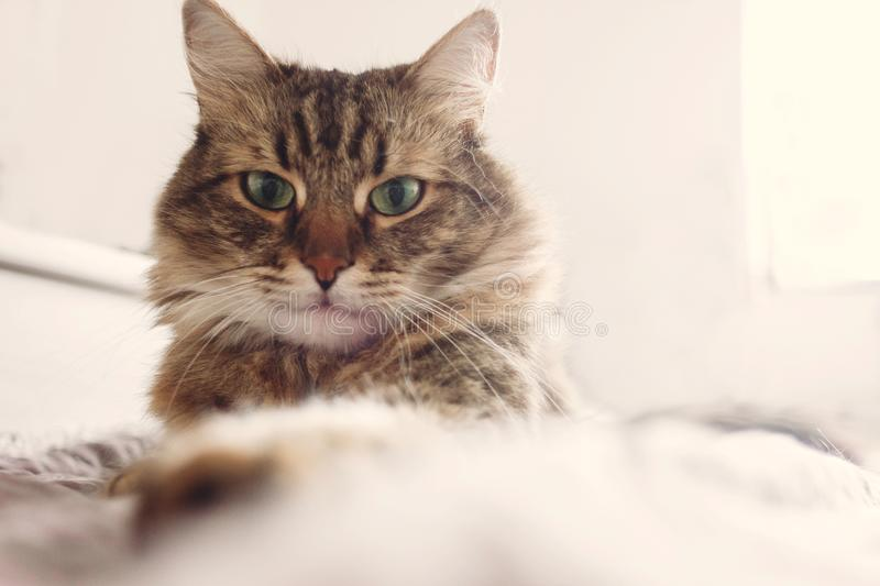 Beautiful tabby cat lying on bed and seriously looking with green eyes in soft morning light. Fluffy Maine coon with funny. Emotions resting in white stylish stock photo