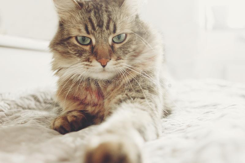 Beautiful tabby cat lying on bed and seriously looking with green eyes in soft morning light. Fluffy Maine coon with funny. Emotions resting in white stylish royalty free stock photo