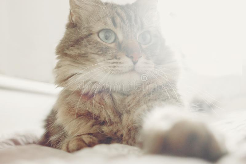 Beautiful tabby cat lying on bed and seriously looking with green eyes in soft morning light. Fluffy Maine coon with funny. Emotions resting in white stylish stock photos