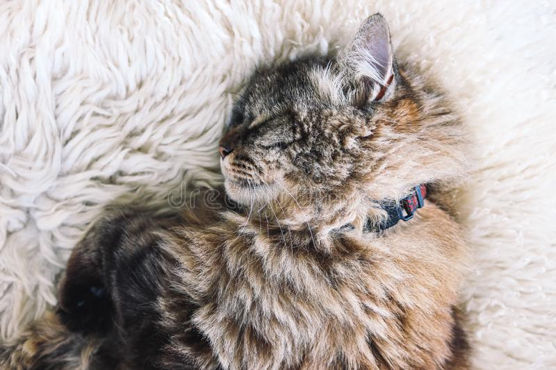 Beautiful tabby cat sleeps on white fluffy blanket. Black cat collar around neck. Persian cats. Taking a nap. Animal slepping. royalty free stock photo