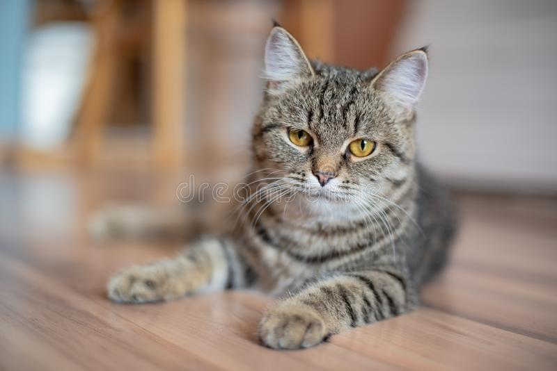 Beautiful tabby looks at camera, close-up. Compassionate look. Beautiful tabby looks at camera, close-up. Severe cat stock image