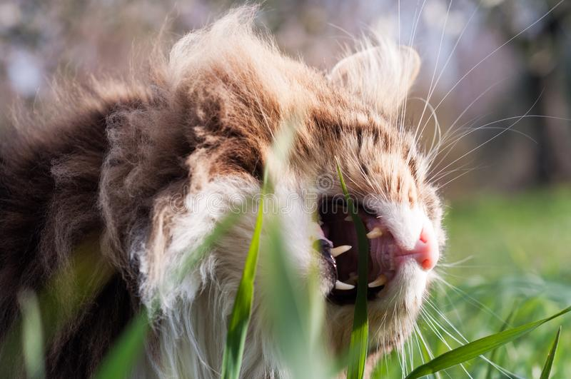 Beautiful tabby norwegian forest cat eating grass royalty free stock photography