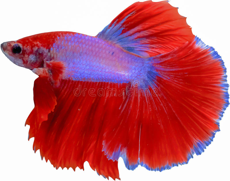 beautiful tail of red & blue fighting fish isolated on white background stock images