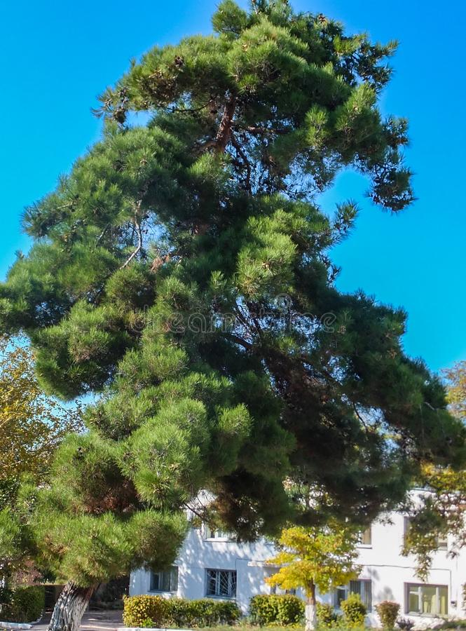 Beautiful tall fluffy pine Stankevich Pinus brutia stankewiczii against the blue sky and white building in Sevastopol. Pinus brutia var. stankewiczii is stock image