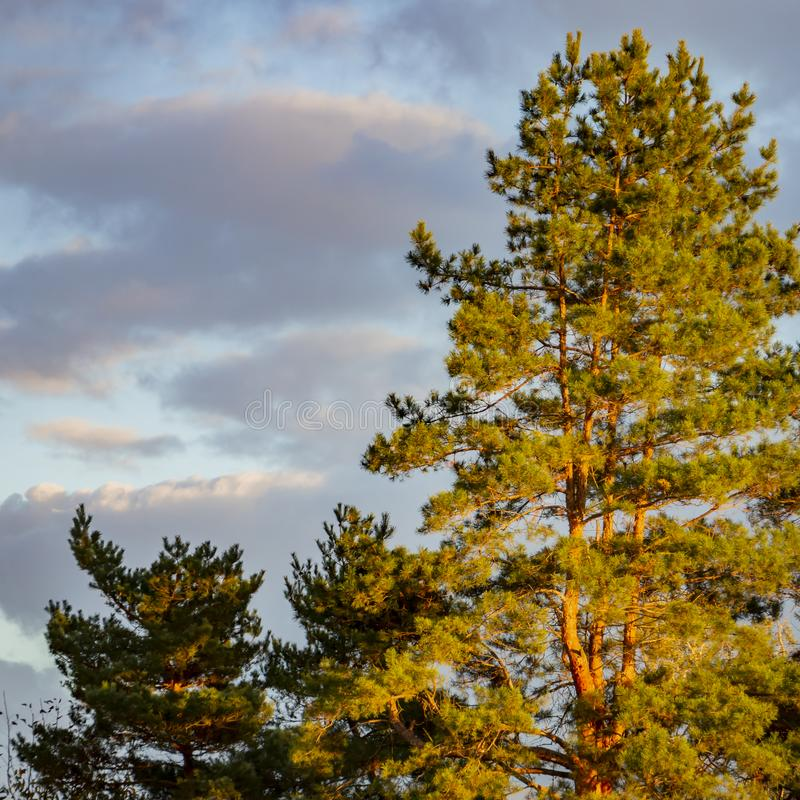 Beautiful tall pine trees Pinus silvestris against the blue sky with clouds in the rays of the setting sun. stock images
