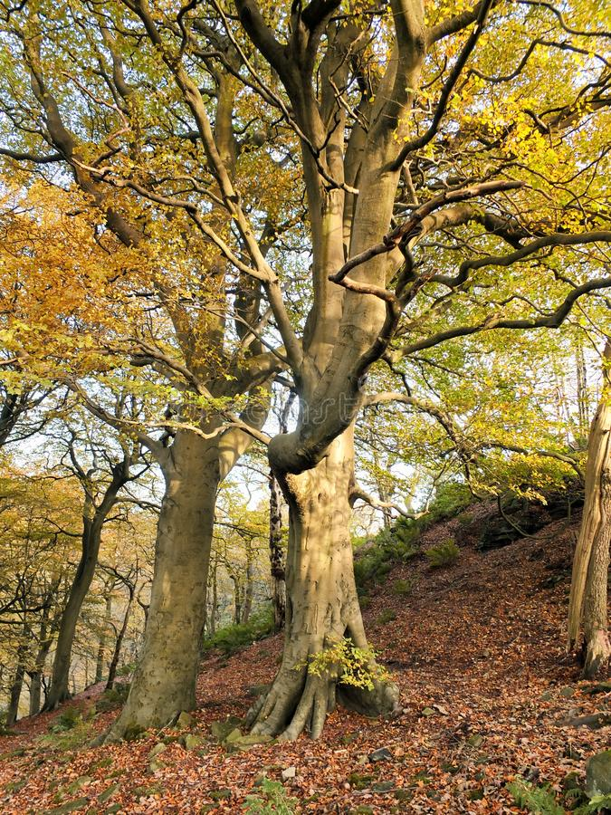 Beautiful tall stately autumn beech trees growing on a steep hillside with leaves beginning to turn golden. Beautiful tall stately autumn beech trees growing on royalty free stock image