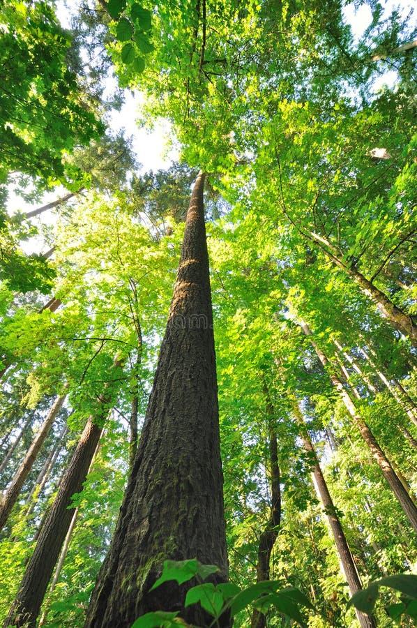 Beautiful Tall trees of Oregon royalty free stock photos