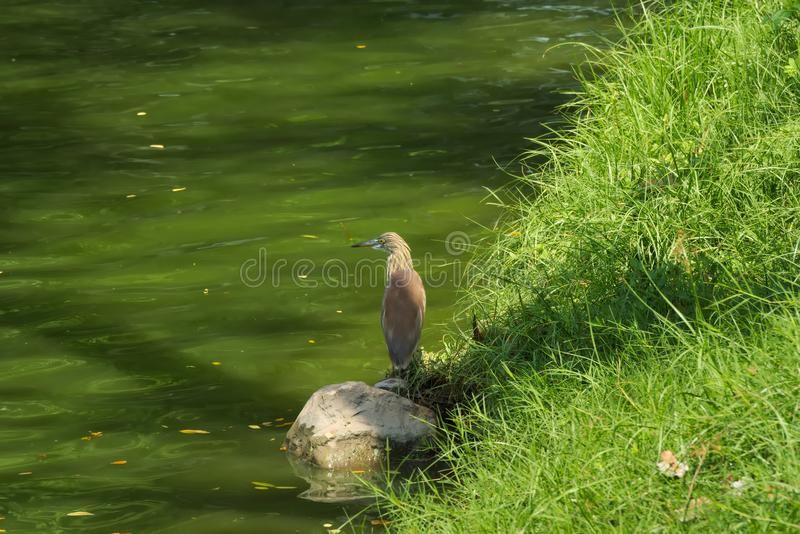 A beautiful tan and white heron bird, fishing along a waterway shore in a lush Thai garden park. A beautiful tan and white heron bird, fishing along a waterway stock photo