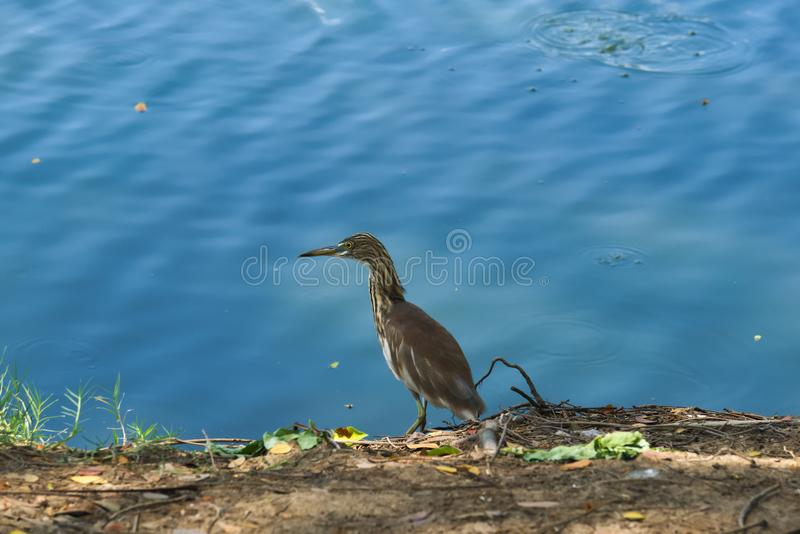 A beautiful tan and white heron bird, fishing along a waterway shore in a lush Thai garden park. A beautiful tan and white heron bird, fishing along a waterway royalty free stock photos