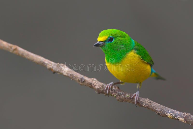 Beautiful tanager. Blue-naped Chlorophonia, Chlorophonia cyanea, exotic tropic green song bird form Colombia. Wildlife from South. America royalty free stock photos
