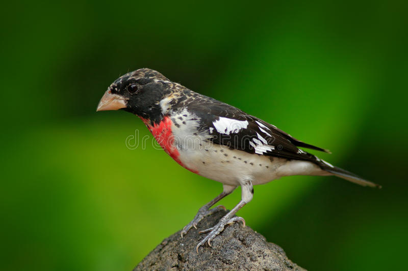 Beautiful tanager in the green habitat. Rose-breasted Grosbeak, Pheucticus ludovicianus, exotic tropic grey and red bird form Cos. Ta Rica royalty free stock photo