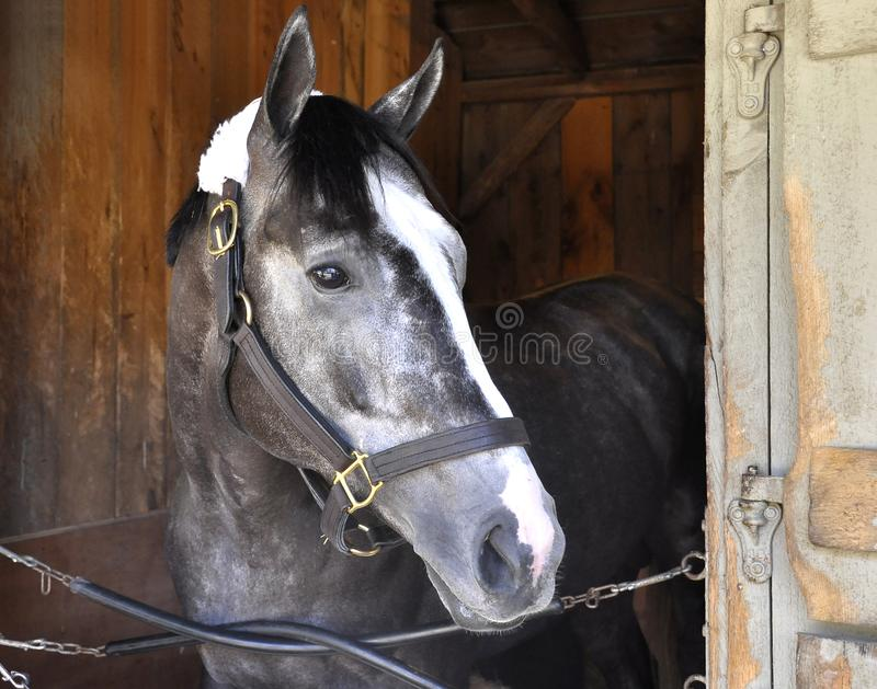 Belmont Stakes Winner Tapwrit. The beautiful Tapwrit, a gray roan colt by the great sire Tapit. Shown her in his stall at historic Saratoga just glaring out onto royalty free stock photos
